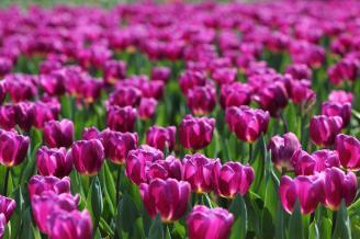 【紫色的天堂】高雅郁金香,世外花中后,金剑冠绝美,清香醉群芳。紫色的郁金香寓意着高贵、无尽的爱。用相机拍下公园里一片紫色的郁金香,有如一片紫色的天堂。.JPG